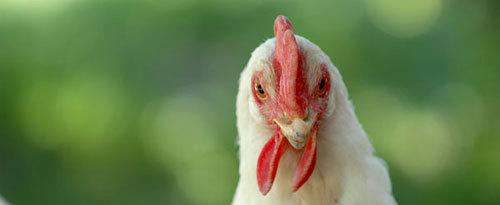 P1360_chickentude